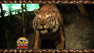 Rolling Hills Zoo Bengal