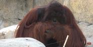 Tampa Lowry Park Zoo Orangutan