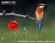European-bee-eater-perched-beside-poppy-flower