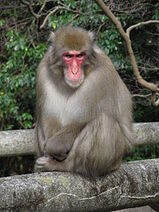 Macaque, Japanese