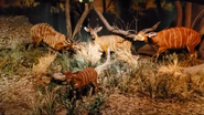 Rolling Hills Zoo Bongos