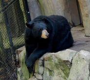 Black bear oregon zoo