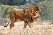 Lion, African