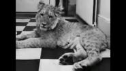 UTAUC Lion Cub