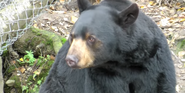 Alaska Zoo Black Bear