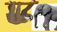 Brown-throated sloth says african bush elephant has nice eyes