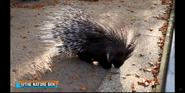 Columbus Zoo Porcupine