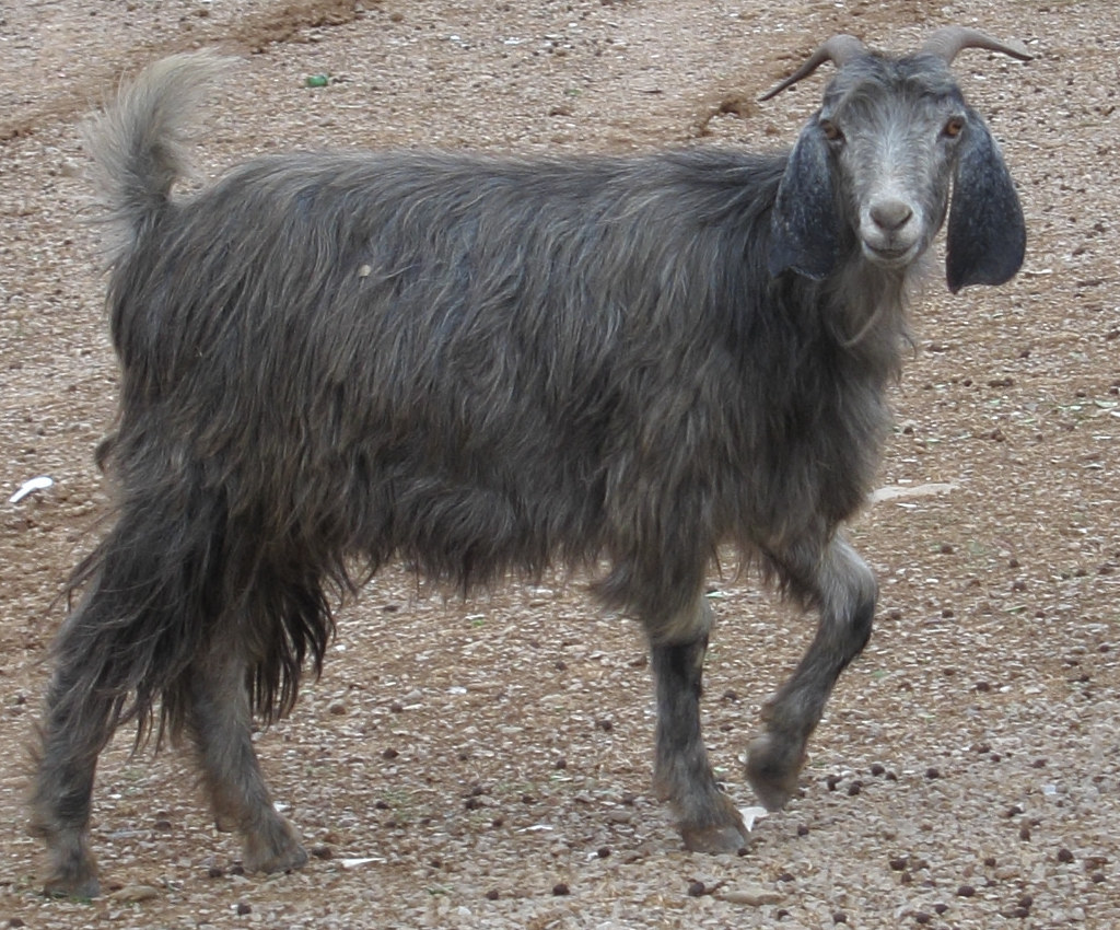 Grey domestic goat