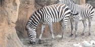 Lincon Park Zoo Zebra