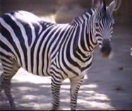 Maryland Zoo Zebra (V2)