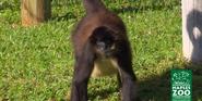 Naples Zoo Spidermonkey