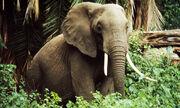 World Wildlife Fund Elephant Ears