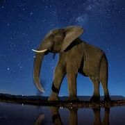 Africa's Elephants and Asia's Mammoths