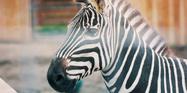 Animal Adventure Park Zebra