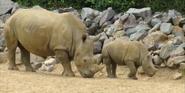 Clochester Zoo Rhino