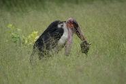 Marabou Stork eats African Bullfrog