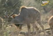 Scout's Safari Kudu