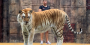Six Flags Safari Tiger