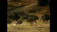 WAET Wildebeests