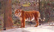 Caspian-tiger-images