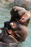 Hippo LG