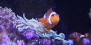 Indianapolis Zoo Clownfish