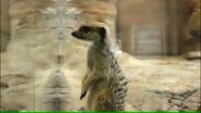 Pittsburgh Zoo Meerkat (V2)