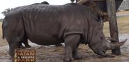 WMSP Southern White Rhino