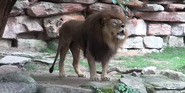 Forth Worth Zoo Lion