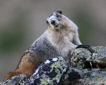 Marmot, Alaska