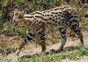 1200px-Leptailurus serval -Serengeti National Park, Tanzania-8