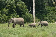 African Forest Elephants Extinct