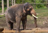 Photo-detail-asia-asian-elephants-5