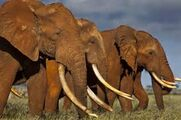 The African Country with the Biggest Elephant Population