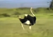 Zoboomafoo Ostrich
