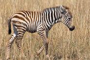 Baby Plains Zebra
