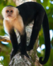 Cute White-headed Capuchin