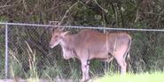 Lion Country Safari Eland