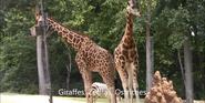 North Carolina Zoo Giraffe