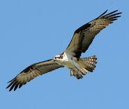 Osprey-5