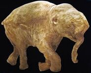 Woolly Mammoth Calf