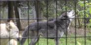 Alaska Zoo Wolf
