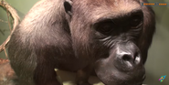 CMONH Gorilla