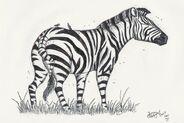Cape zebra equus capensis