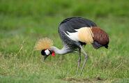 Grey-crowned-crane