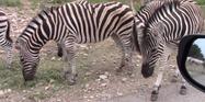 Natural Bridge Wildlife Ranch Zebras