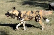 Sedgwick County Zoo Painted Dog