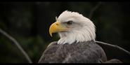Bronyx Zoo Eagle