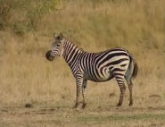 HugoSafari - Zebra06