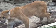 Louisville Zoo Cougar